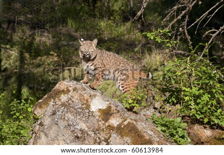 Humorous expression of Canadian lynx on rocky outcropping.