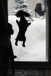 Humorous image of a black toy poodle jumping excitedly at the sliding glass door, as his owner returns home on a snowy winter day.