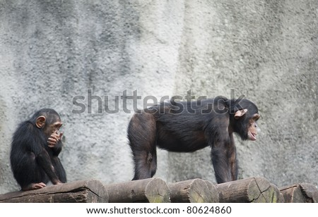 Humorous Image of a young Chimpanzee looking at the butt of another