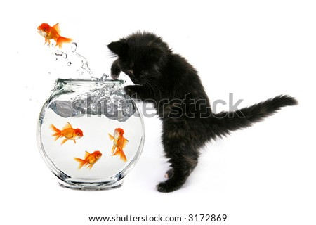 Humorous Kitten Trying to Catch Gold Fish in a Bowl