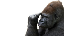 Humorous portrait of a gorilla thinking with room for text