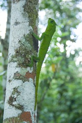 Hump-nosed Lizard, Lyriocephalus scutatus,Sinharaja Rain Forest,