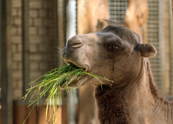 Humpback brown zoo camel eating green grass, head portrait picture