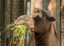 Humpback brown zoo camel eating green grass, head portrait picture, zoo animal