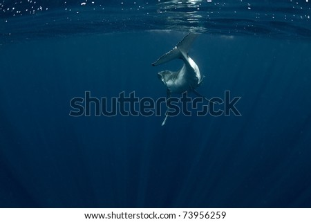 Humpback Calf Swimming Away Surrounded by Light Rays