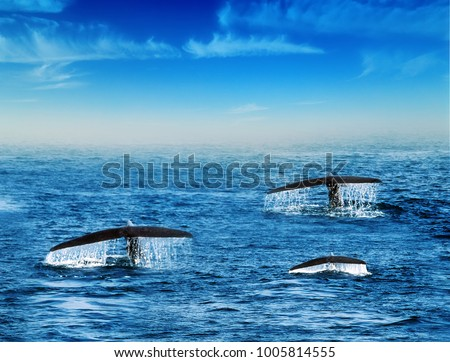 Humpback family whales tail splash and the drop does fall water in background blue sky off the coast of Ceylon, Sri Lanka.