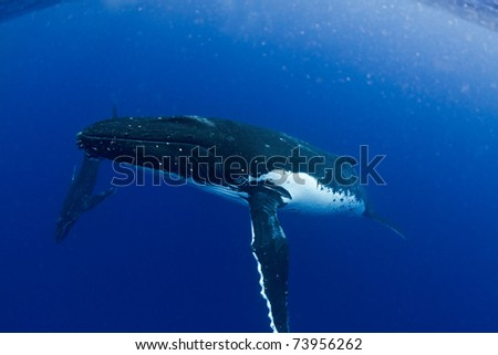 Humpback Mother with Calf - stock photo