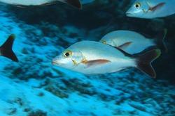 Humpback red snapper fish (Lutjanus gibbus) underwater in the Maldives
