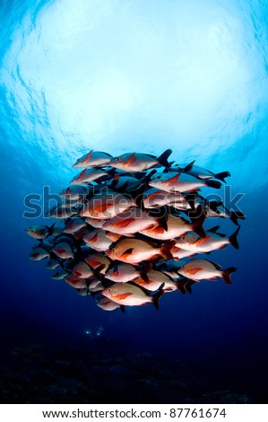 Humpback-snapper - stock photo