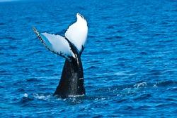 Humpback Tail-fin