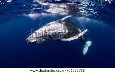 humpback whale Stock foto ©