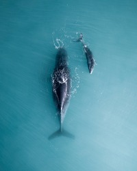 Humpback whale and calf sleeping on the surface
