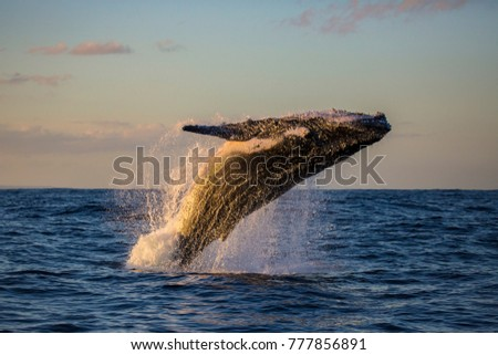 Humpback whale bathed in golden light off Sydney Harbour during sunset