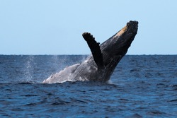 Humpback whale breaching. Hawaii, Maui, Lahaina, Winter