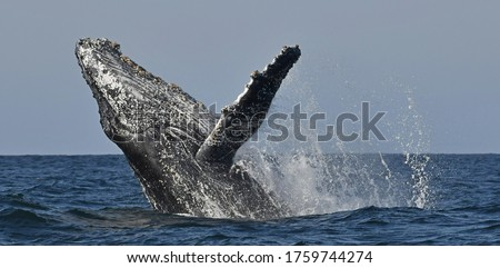 Humpback whale breaching. Humpback whale jumping out of the water. South Africa.  Foto stock ©