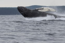 Humpback whale breaching off the coast of Newfoundland.
