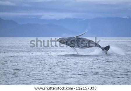 Humpback whale breaching offshore SW Alaska