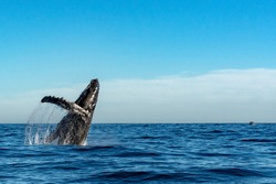 humpback whale breaching on pacific ocean background