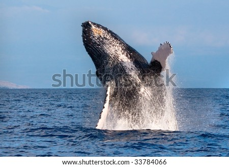 Humpback Whale Breaching out of the water in maui, hawaii