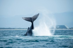 Humpback Whale Breaching out the Tail in the Ocean