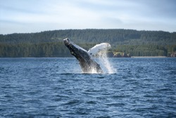Humpback Whale Breaching Water in Kodiak Alaska