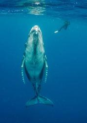 Humpback whale calf and diver, Pacific Ocean, Vava'u, Tonga.