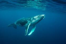 Humpback whale calf, Pacific Ocean, Vava'u, Tonga.