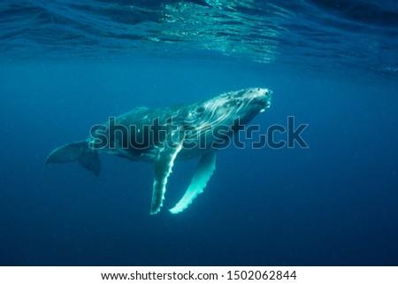 Humpback whale calf, Pacific Ocean, Vava'u, Tonga. Foto stock ©