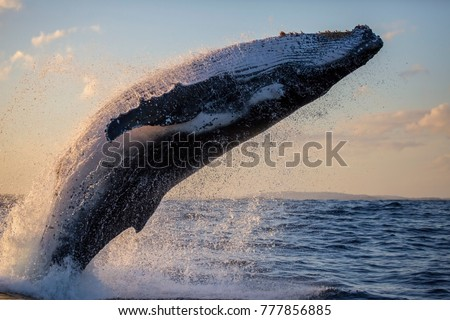 Humpback whale close up breaching off Sydney Harbour at sunset