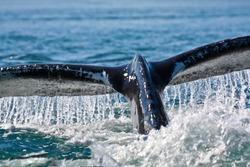 Humpback Whale Dives in Blue Ocean Water, Juneau, Alaska