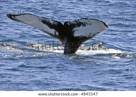 Humpback Whale diving and showing its tail after feeding near the surface