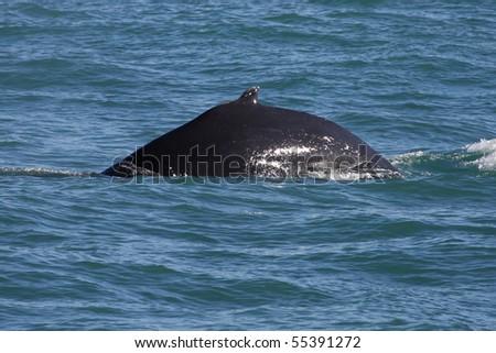 Humpback whale diving deep, Husavik Bay, Iceland, Atalntic Ocean