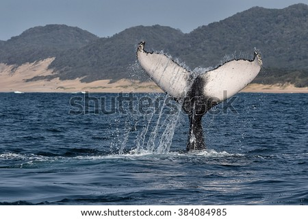 humpback whale diving south africa