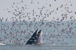 Humpback whale eating fish.