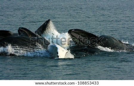 humpback whale feeding group with jumping herring, Inside Passage, Alaska