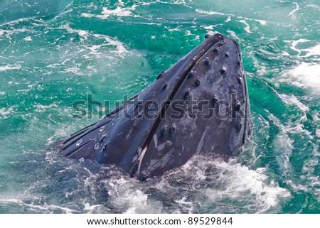 Humpback whale feeding off Stellwagen Bank