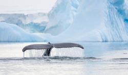 Humpback Whale Fin in Antarctica