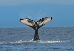 Humpback Whale flinging water droplets off its tail as tail is raised high out of the ocean water displaying tail markings on a calm sunny day.