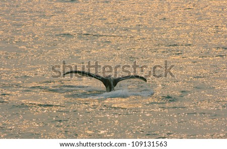 humpback whale fluke at sunset, Inside Passage, Alaska, USA