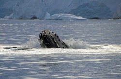 Humpback whale head, showing on the dive, Antarctic Peninsula
