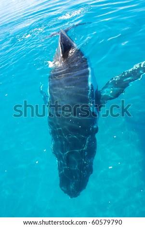 Humpback Whale in Australia