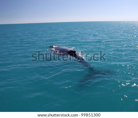 Humpback Whale in Australia (Whitsundays Islands)