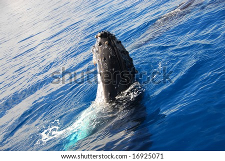 Humpback Whale in Hervey Bay Australia