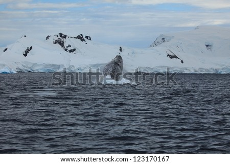 Humpback Whale in the Antarctica