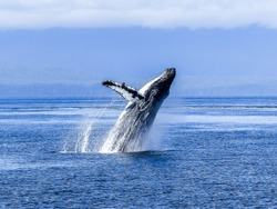 humpback whale in the blue ocean