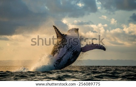 Humpback whale jump at sunset against a beautiful sky. Madagascar. The water area of the island of St. Mary.