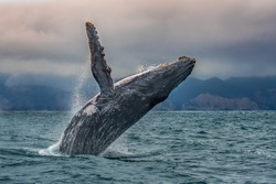 Humpback whale jumping out of water in pacific coast, Puerto Lopez, Ecuador