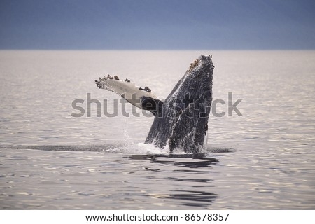 Humpback whale (Megaptera novaeangliae) breaching, Frederick Sound, Southeast Alaska's Alexander Archipelago.
