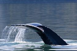 Humpback Whale (Megaptera novaeangliae) diving-5, Juneau, Alaska