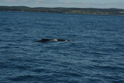 Humpback Whale. Megaptera novaeangliae. Witless Bay Ecological Reserve, Newfoundland, Canada. 20 June 2015